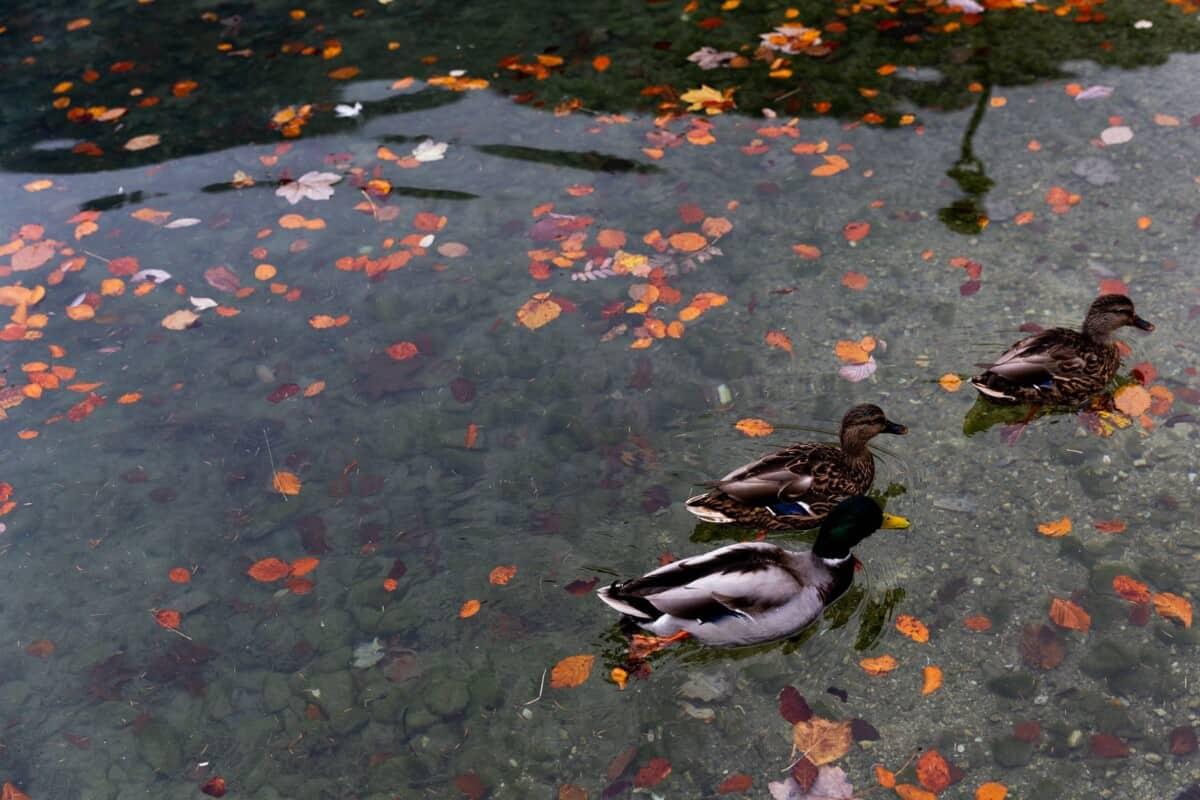 Where Do Ducks Lay Eggs